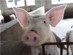 双汇确认非洲猪瘟病猪未使用