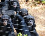 雨林中的黑猩猩保护区